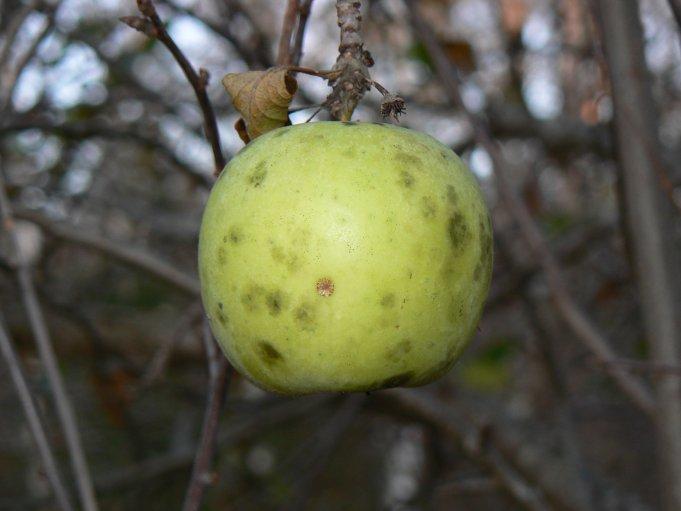 äpple; Foto: Andreas Rejbrand