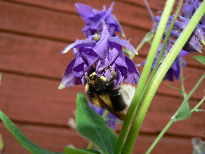 Blomma och bi; Foto: Andreas Rejbrand