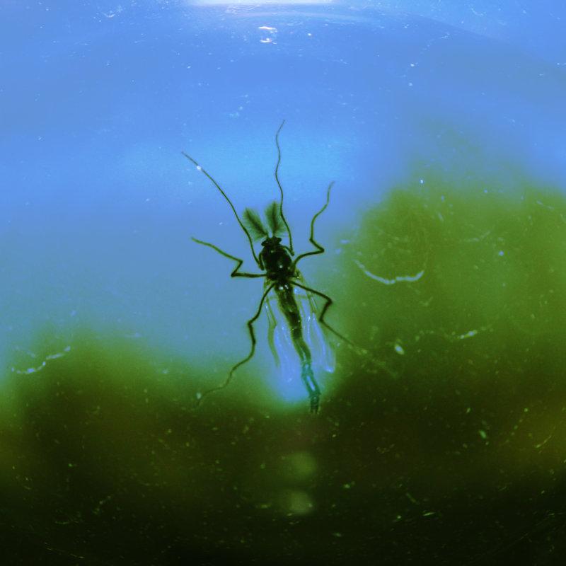 Fotografi på fjädermygga på fönsterglas sedd underifrån, digitalt bearbetad så att det ser ut som om insekten står på vattenytan i en sjö.