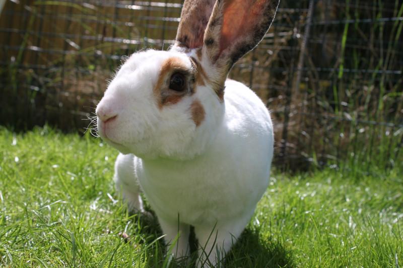 Närbild på tam kanin som försiktigt rör sig mot kameran i det gröna gräset.