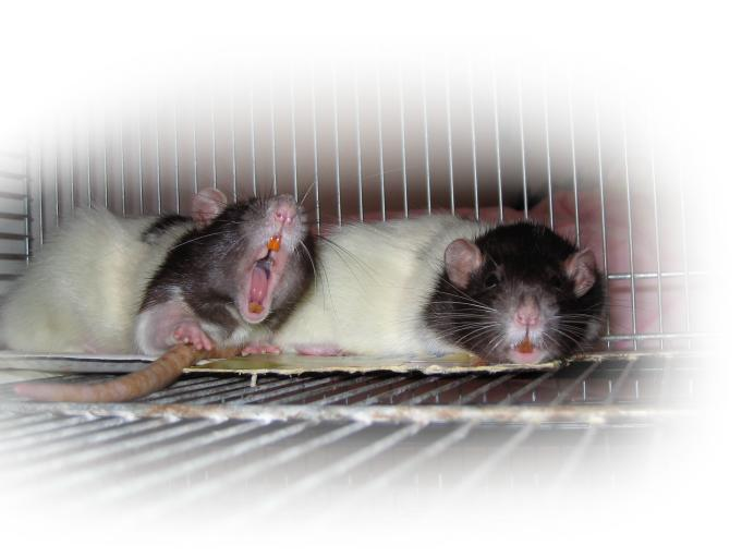 Pet rats; Photo: Andreas Rejbrand