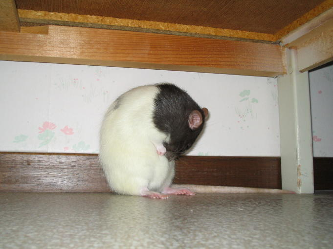 Pet rat; Photo: Andreas Rejbrand