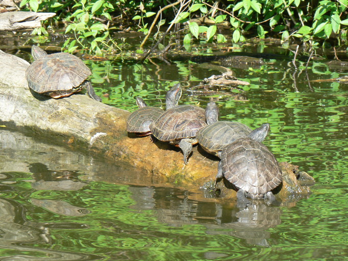 Sköldpaddor; Foto: Andreas Rejbrand