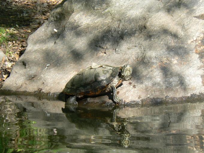Sköldpadda; Foto: Andreas Rejbrand