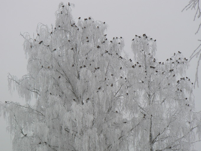 Small birds on a wintry tree; Foto: Andreas Rejbrand