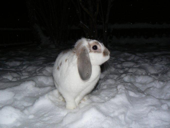 Kanin (dvärgvädur) i snön; Photo: Andreas Rejbrand